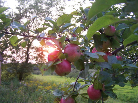 apples in sunset